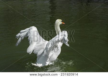 Beautiful White Swan On The Lake, Trying To Fly.