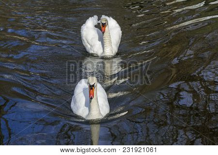 White Swans On The Lake, Come To Get Food.