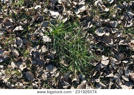 Tussocks Of Green Grass Surrounded By Dull Fallen Leaves