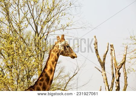 Giraffe's Head And Neck In Between The Trees