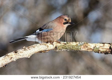 Eurasian Jay (garrulus Glandarius) Sits On A Branch Eaten By Insects (one Can See Every Feather And