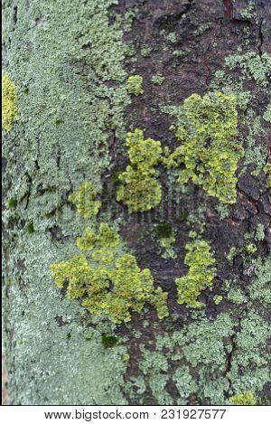 Bluish And Yellowish Green Lichen On Bark Of Horse Chestnut
