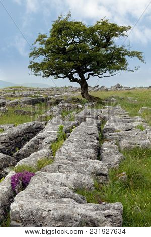 Lone tree and Limestone pavement at Winskill Stones Nature Reserve, near Settle, Yorkshire Dales, North Yorkshire, UK
