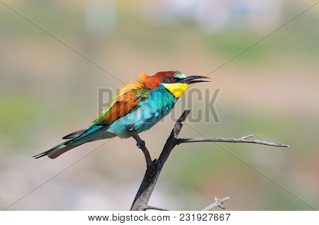 European Bee-eater (merops Apiaster) Sits On A Dry Branch, Ruffling Feathers On The Nape.