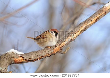 Eurasian Tree Sparrow (passer Montanus) Sitting On A Branch Covered With Flaky Bark.