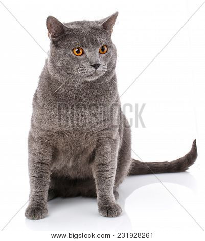 Grey Chartreux Cat With Yellow Orange Eyes Isolated On White Background. Studio Shot. Origin From Fr