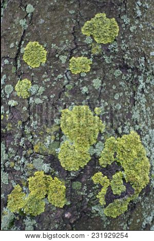 Xanthoria Parietina Lichen On Bark Of Horse Chestnut Tree