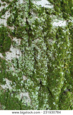 Lichen And Moss On Bark Of Silver Poplar