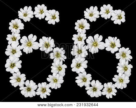 Arabic Numeral 66, Sixty Six, Sixty, Six, From White Flowers Of Cerastium Tomentosum, Isolated On Bl