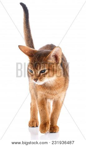 Portrait Redhead Abyssyn Cat On A White Background. Thoroughbred Bred Cat.