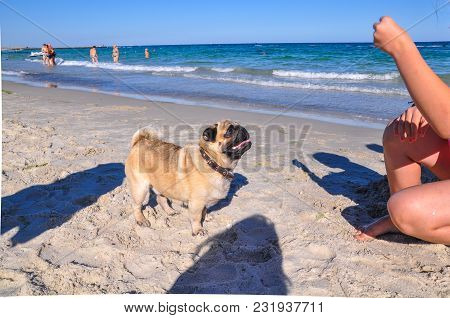 A Dog Of The Pug Breed Is A Clever, Light-haired, Ginger-colored Walker Playing On The Seaside With