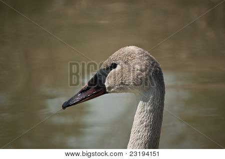 A shot of the head and upper neck of a Trumpeter Swan in profile in front of a pond. poster