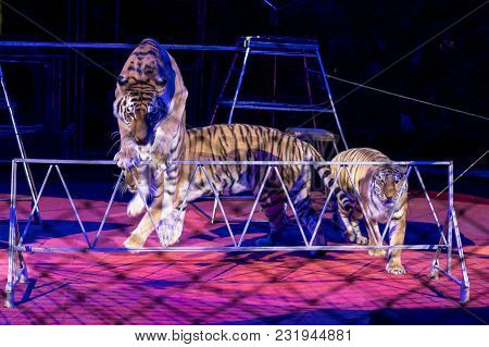 Tigers In The Circus Arena. Trained Animals.