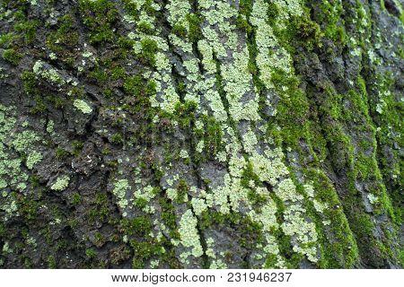 Light Green Lichen And Moss On Tree Bark