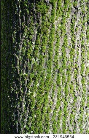 Lush Green Moss In Cracks Of Poplar Bark