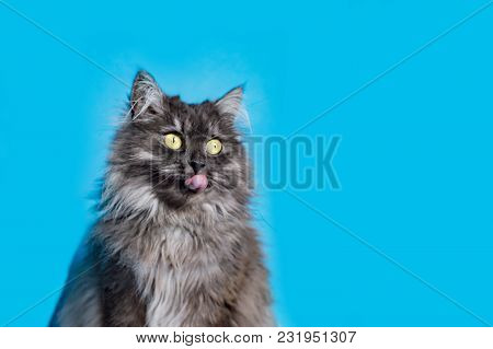 Furry Cat With Yellow Eyes On Blue Background