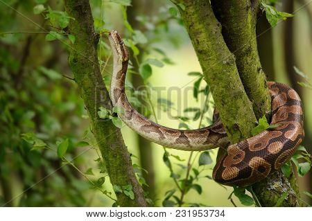 Sub-saharan Africa Snake. Ball Python Climbing On Tree. Royal Python. Strong Snake.