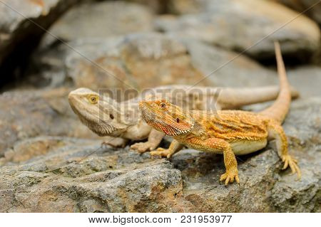 Two Central Bearded Dragon On The Stone In Nature. Australian Lizard