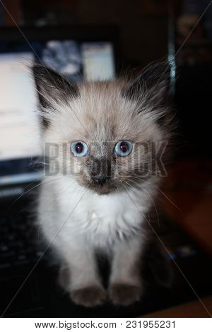 Gray Brown Stray Kitten Homeless Cat Sadness With Blue Eyes And Looking At Camera With Darken Tone B