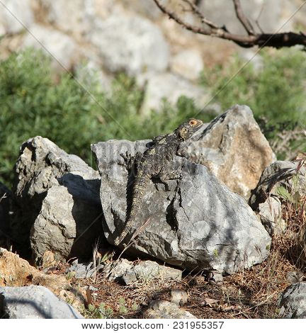Large Lizard Sitting On A Rock In The Summer