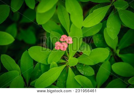 Euphorbia Also Known As The Crown Of Thorns, Christ Plant Or Christ Thorn. Flowering Plant.