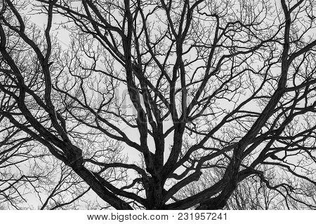 Monochrome Melancholic Image Of Tall Branchy Gloomy Oak Tree In Winter.