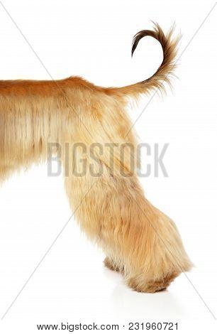 Afghan Hound  Back Of Body