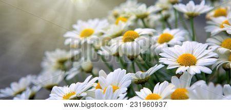 Macro Shot Of Beautiful White Daisies Isolated On Gray Background.