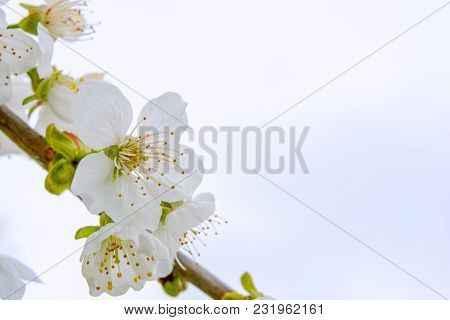 Photo Of Beautiful Blooming Apple Tree Branches Against The Sky