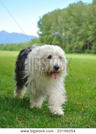 Big Bobtail Old English Shipdog Breed Dog Outdoors On A Field