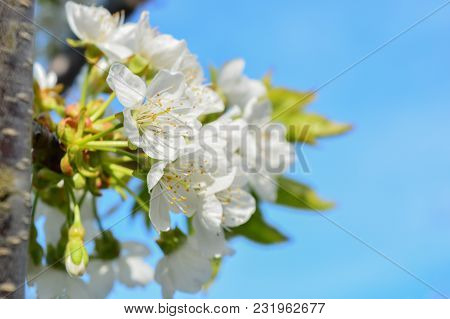 Photo Of Beautiful Blooming Apple Tree Branches Against The Blue Sky