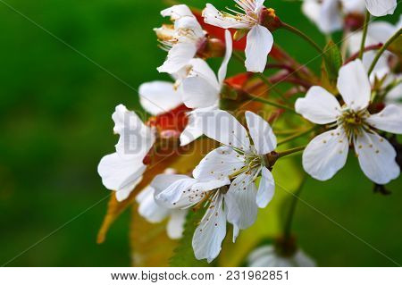 Photo Of Beautiful Blooming Apple Tree Branches Against The Green Grass