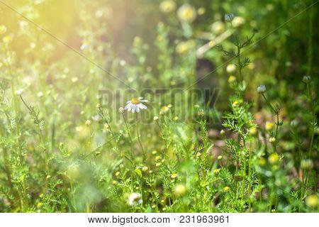 Pharmacy Daisy Drug. Daisies In A Meadow. Closeup Chamomiles