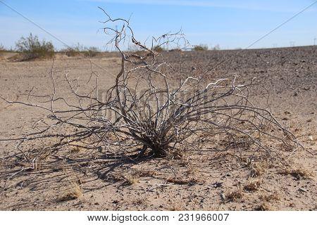 Larrea Tridentata, Creosote Bush In California Desert With No Leaves