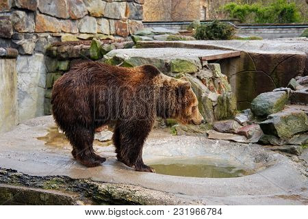 Bathing A Big Brown Bear In A Puddle At The Zoo.