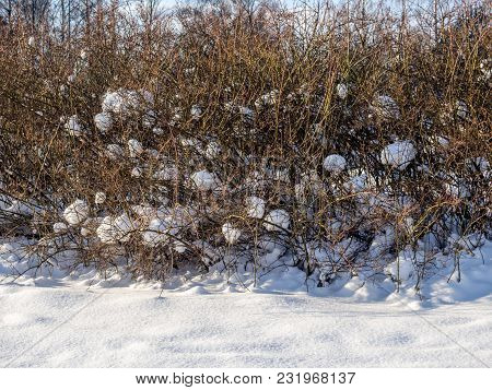 Snow-covered Shrubbery On A Glade In The Park After A Snowfall