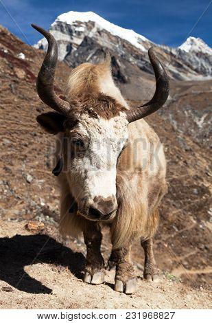 Yak On The Way To Everest Base Camp - Nepal Himalayas