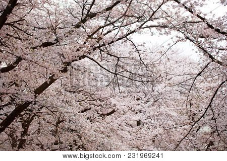 Cherry blossom in full bloom. Magnificent scene of Japanese cherry in full bloom.
