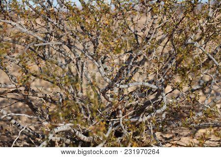 Close Up Of Larrea Tridentata, Creosote Bush In California Desert