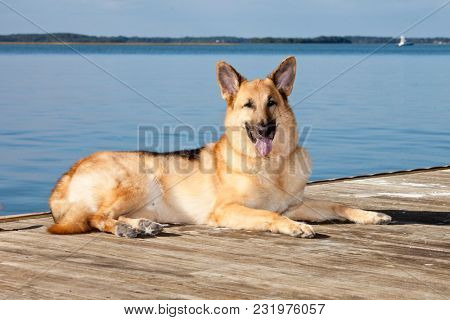 Outdoor portrait of pure bred german shepherd.
