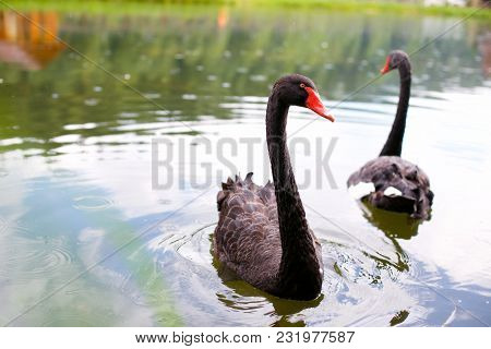 Beautiful Black Swans Are  Swimming In The Lake