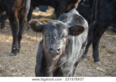 Black Angus Calf, Calf Posing For The Camera, Spring Calf With Shiny Coat