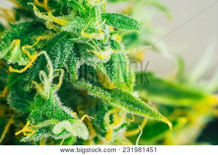 Macro Buds Shot Cannabis On Weed With Sugar Trichomes. Concepts Of Grow And Use Of Marijuana Trichom
