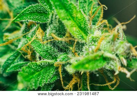 Beautiful Buds Before Harvest. Cannabis Grow Indoor Macro Shot Sugar Trichomes Cbd Thc Concepts Of G