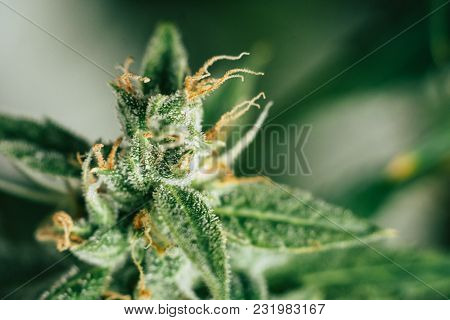 Weed Buds Of With Sugar Cbd Thc Medicinal Trichomes. Concepts Of Grow And Use Of Marijuana Trichomes