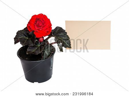Seedling Begonia Flower And Card For Notes Isolated On White Background
