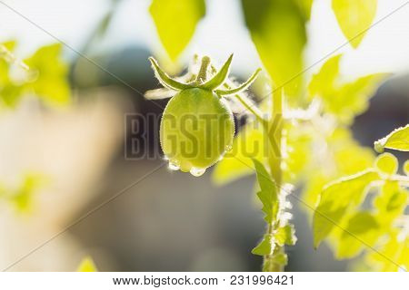 Young Green Tomato With Sparkling Waterdrops On A Balcony With Sun Backlight