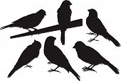 Six canary bird silhouettes isolated on white poster