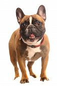 Red French Bulldog, 4 year old, standing in front of white background, studio shot poster