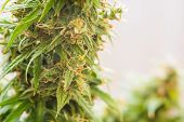 medicinal marijuana cbd thc. bud cannabis, Concepts of legalizing herbs weed, Macro shot with sugar trichomes, buds grown cannabis in the house, Bud cannabis before harvest poster